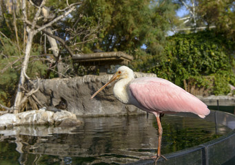 Close up of a Roseate Spoonbill