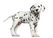 Side view of a Dalmatian puppy standing, looking away, isolated