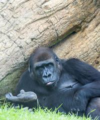 Lowand Gorilla sitting
