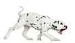 Side view of a Dalmatian puppy walking and barking, isolated
