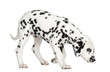 Side view of a Dalmatian puppy standing, sniffing the floor