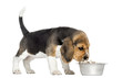 Side view of a Beagle puppy standing, sniffing food in a bowl