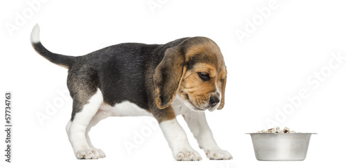 Side view of a Beagle puppy looking at his bowl with disgust