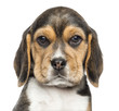 Close-up of a Beagle puppy looking at the camera, isolated