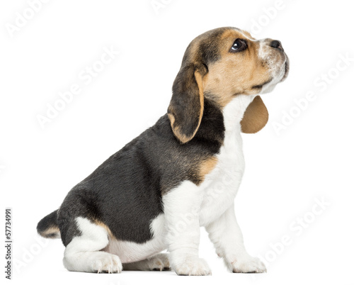Side view of a Beagle puppy sitting, looking up, isolated