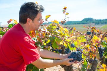Winemaker harvesting Bobal grapes in mediterranean
