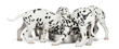 Group of Dalmatian puppies eating all together, isolated