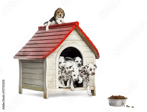 Group of dog puppies playing with a dog kennel, isolated