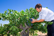 Winemaker oenologist checking bobal wine grapes