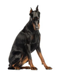 Doberman Pinscher sitting, looking down, isolated on white