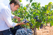 Bobal harvesting with harvester farmer winemaker