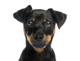 Close-up of a Pinscher looking at the camera, isolated on white