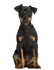Pinscher sitting, looking at the camera, isolated on white