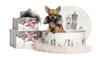 Chihuahua puppy in a clothes box, 3 months old, isolated