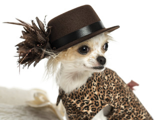 Close-up of a Chihuahua wearing a hat, isolated on white