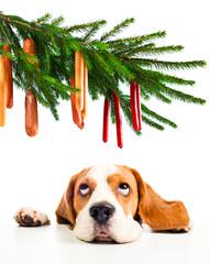 beagle and its Christmas dreams