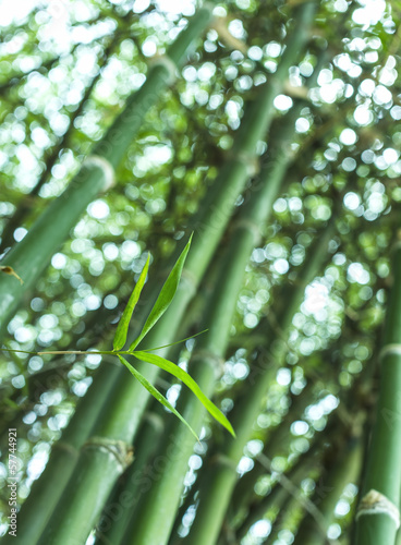Green bamboo leaves ( bambusa multiplex variegated).