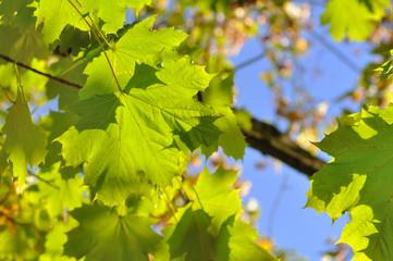 feuilles de platane