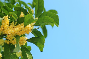 桂花,木犀,Sweet Osmanthus Flower,fragrans