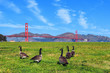 Golden Gate Bridge with gooses