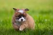 Junger Hunde Welpe