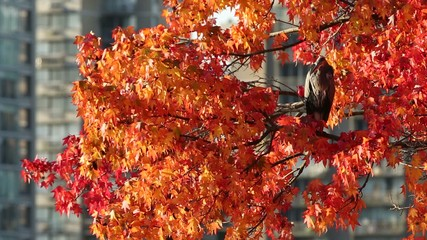 Heron in Autumn Tree, Vancouver