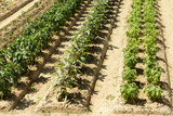 vegetables in rows in orchard at La Foresta Franciscan monastery