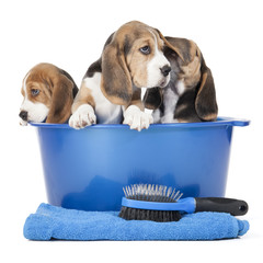 beagle puppies in a basin on a white background in studio