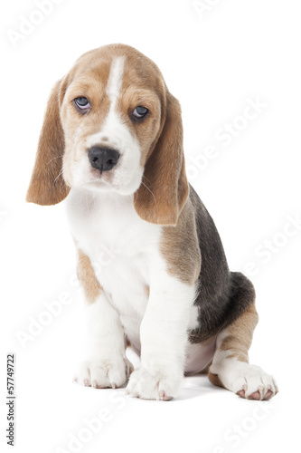 beagle puppy isolated on a white background in studio