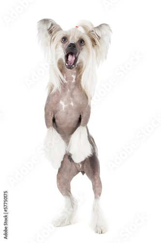 dancing chinese crested dog on a white background in studio
