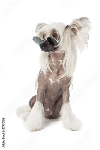 Chinese crested dog with glasses isolated on white background