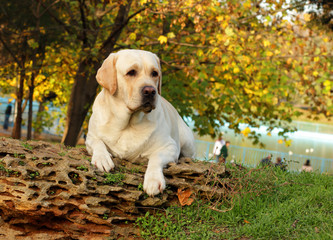 yellow labrador in autumn