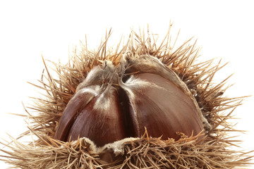 Spiny Chestnut Cutout