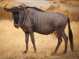 Wildebeest close up looking at camera