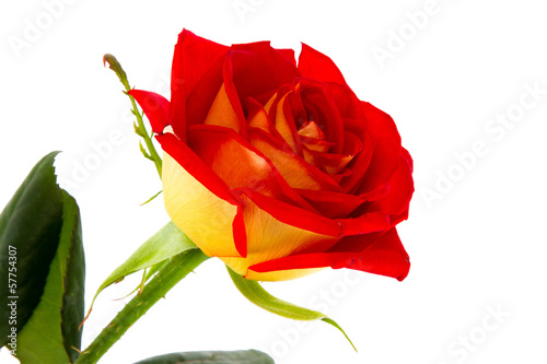 image of a red rose bud close-up