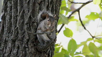 Gray squirrel in a tree