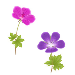 Two geranium flowers