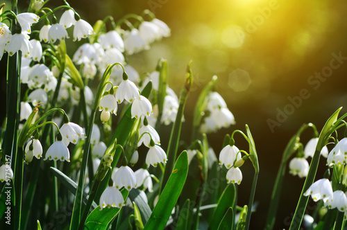 canvas print picture Snowdrops