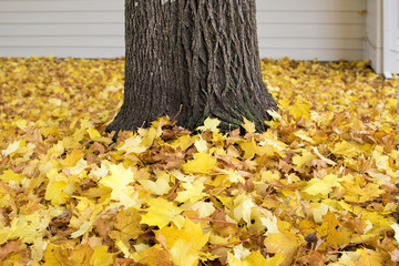 Fallen Maple Tree Leaves in Backyard
