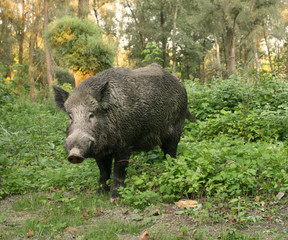 Portrait of wild boar in forest