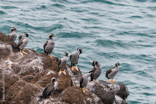 spotted shags on cliff ledge