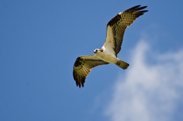 Osprey Flying in a Blue Sky