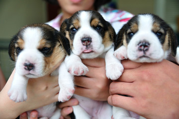 Portrait group of puppy Beagles