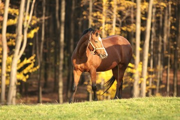 Horse in the meadow on a background of autumn trees