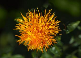 Macro of dyer's-saffron
