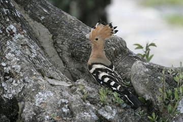 Hoopoe, Upupa epops