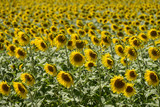 "sunflowers in the ""holy valley"" #11, Rieti"