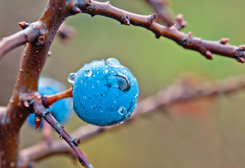 drops of blackthorn
