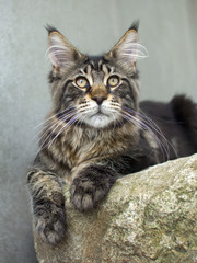 maine coon cat on the stone