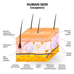 human skin layer vector cross section